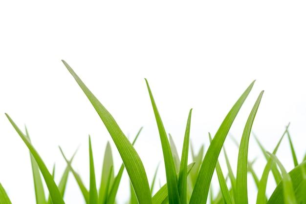 Stammen van groen gras op een witte achtergrond.