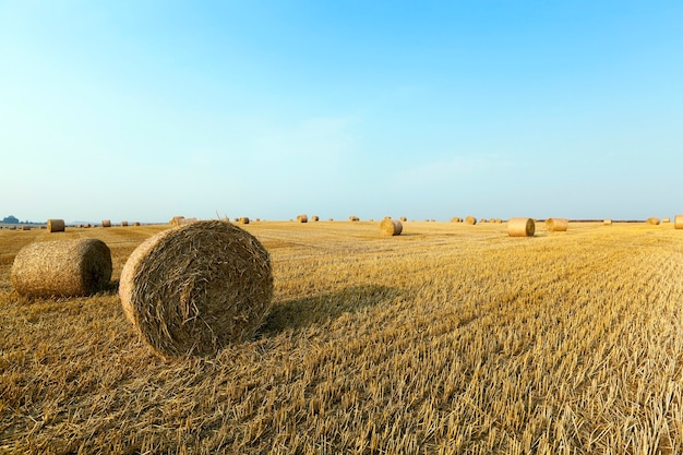 Stapel stro in het veld landbouwgebied waarop gestapelde hooibergen stro na de tarweoogst