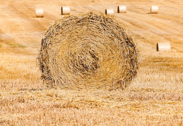 Stapel tarwestro tijdens het oogsten. agrarisch gebied. rollen hooibergen