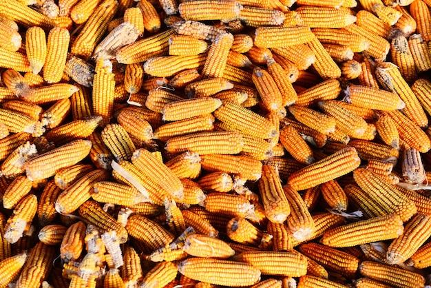 Stapel van rijpe maïsoogst van veld voor verkoopindustrie, oogsten van maïs aziatische landbouwproducten