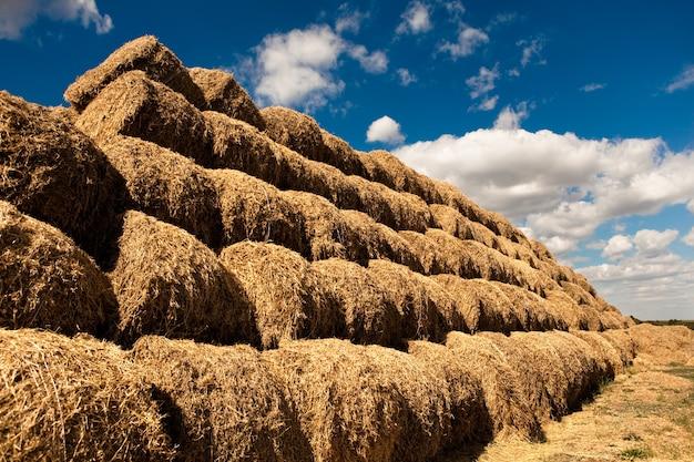 Stapels van gouden hooi gelaagd in rijen in veld op heldere zomerdag met blauwe lucht