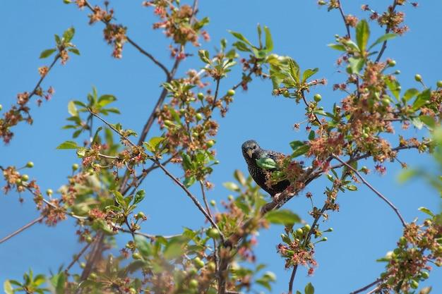 Starling stitting op een tak van de kersenboom
