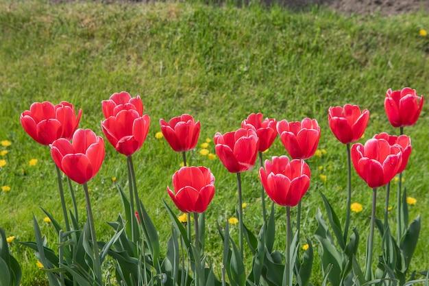Stedelijk bloembed met geplante tulpenbloemen. close-up van rode bloemen op een zonnige dag