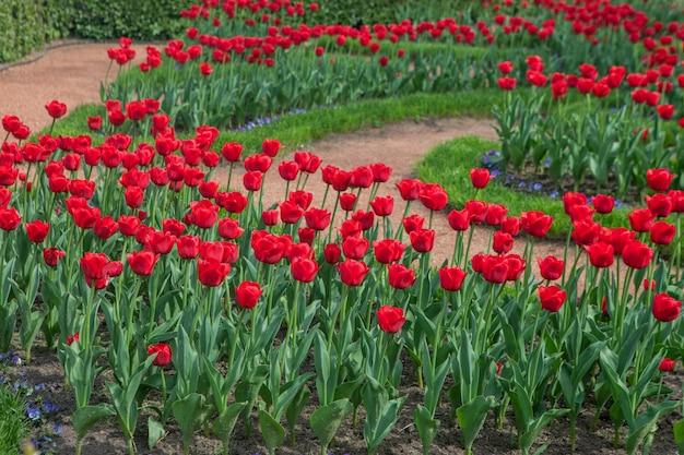 Stedelijk bloembed met geplante tulpenbloemen. perspectief van rode bloemen op een zonnige dag