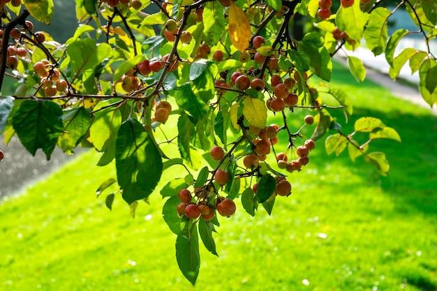 Stedelijke boulevards crabapple en wilde appelboom. malus is een geslacht van de soort kleine bladverliezende appel of struik. rotterdam.
