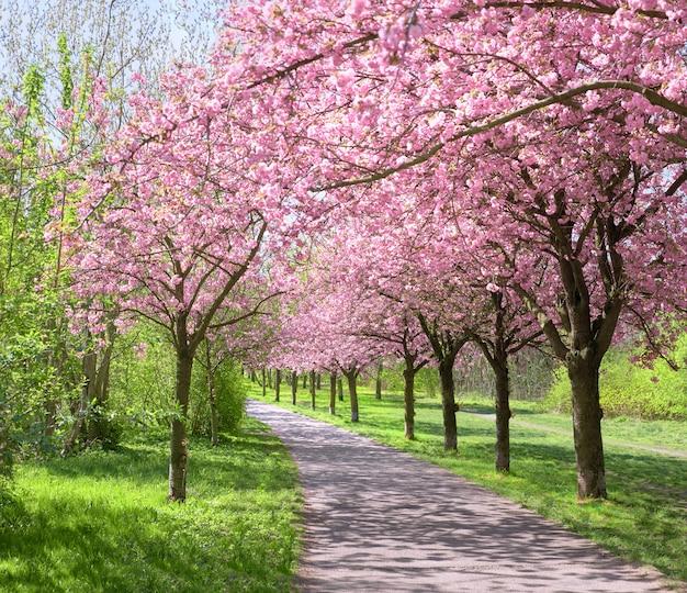 Steeg van bloeiende kersenbomen die het pad van de voormalige muur in berlijn volgen