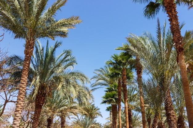 Steeg van palmen op duidelijke hemelachtergrond