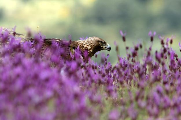 Steenarend onder paarse bloemen met het eerste licht van de dageraad