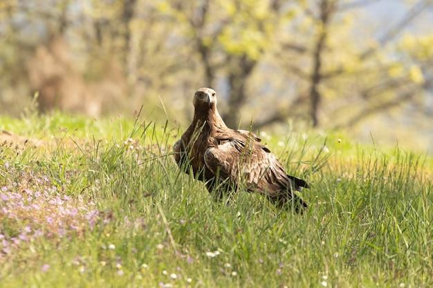 Steenarend vrouwtje in een eikenbos met de eerste ochtendlichten op een lentedag