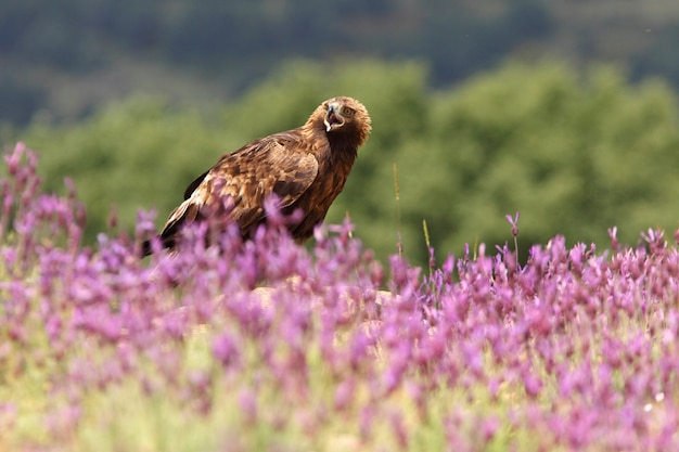 Steenarend vrouwtje onder paarse bloemen met het eerste ochtendlicht
