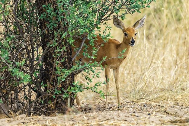 Steenbok die van onder een boom kijkt
