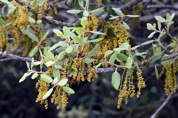 Steeneik bloemen (quercus ilex)