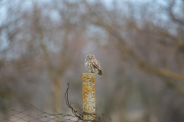 Steenuil athene noctua zat op een rotspilaar.