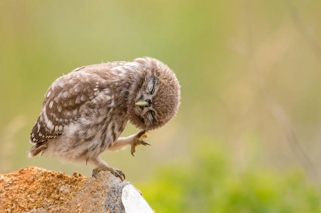 Steenuil, athene noctua, zittend op een steen en zijn veren gladstrijkend. jonge vogel.