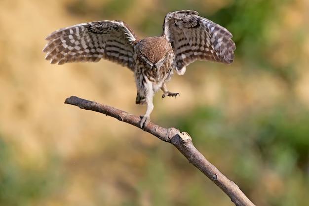 Steenuil danst op tak met wijd open vleugels