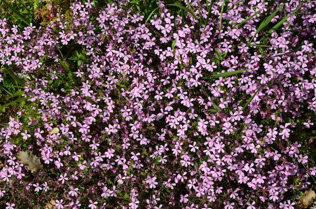 Steenzeepkruidbloemen (saponaria ocymoides), een plant die wordt gebruikt om zeep te maken