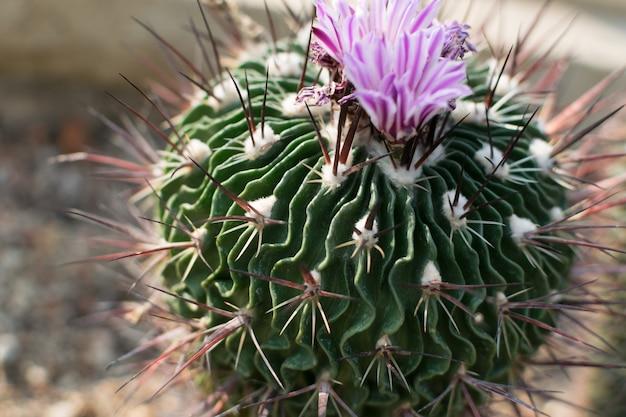 Stekelige cactus. doorn en bloemen van cactussen