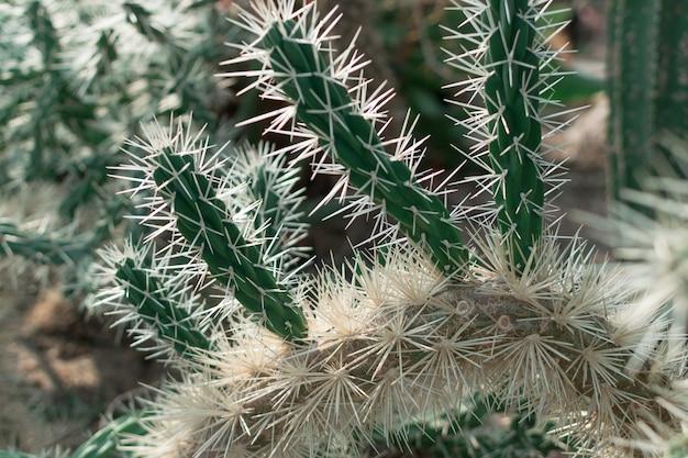 Stekelige en donzige cactus. doorn cactussen textuur