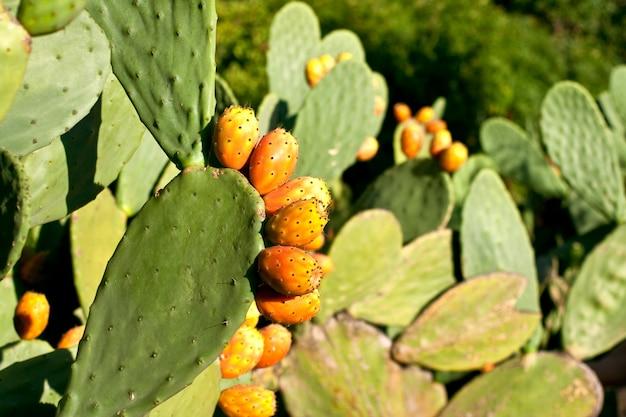 Stekelige peren op cactus