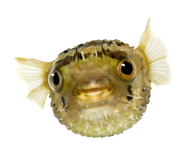 Stekelvarkenvis met lange ruggengraat ook bekend als doornige ballonvis - diodon holocanthus op wit geïsoleerd