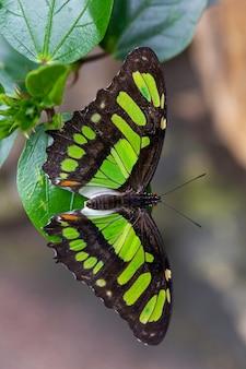 Stelene vlinder met zwarte en groene vleugels zittend op een leafe