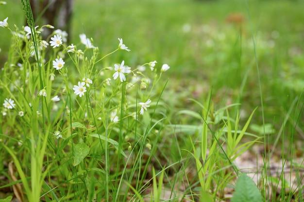 Stellaria media is een in het wild levende kruidachtige plant