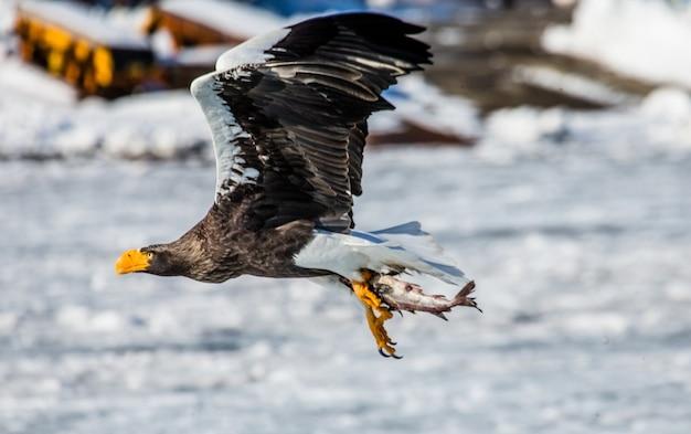 Stellers zeearend tijdens de vlucht met prooi over de bevroren zee. japan. hakkaydo. shiretoko-schiereiland. shiretoko nationaal park.