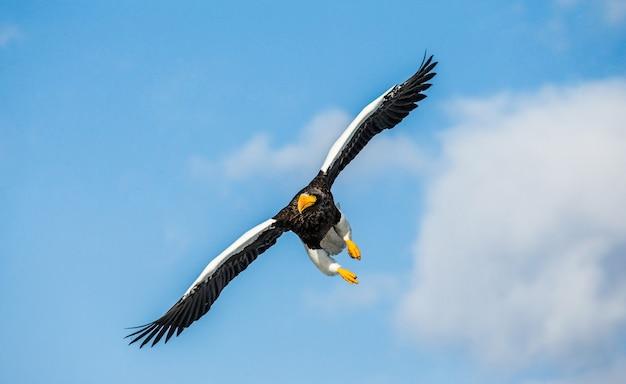 Stellers zeearend tijdens de vlucht over blauwe hemel. japan. hakkaydo. shiretoko-schiereiland. shiretoko nationaal park.