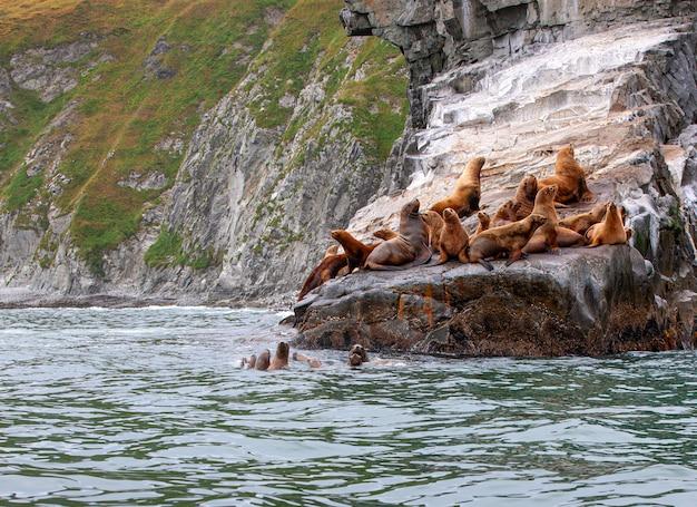 Stellerzeeleeuw op rots in het schiereiland van kamchatka