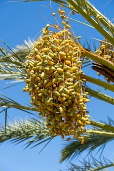 Stelletje gele dadelsvruchten op de palmboom, close-up