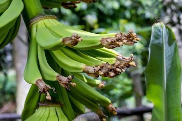 Stelletje jonge bananen in de tuin close-up met selectieve focus