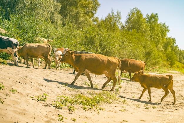Stelletje koeien lopen op zand oppervlak veld in de buurt van groen bos.
