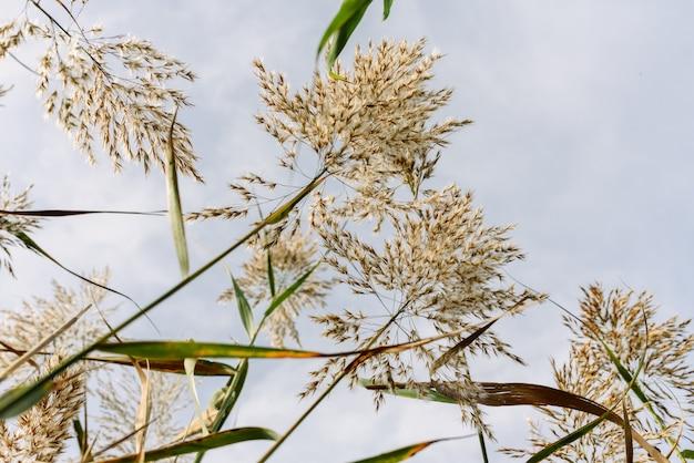Stengels en zaden van waterriet gezien vanuit de vochtige grond tegen de blauwe hemel