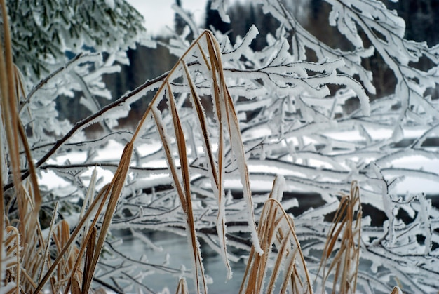 Stengels van winterse droge zegge tegen de achtergrond van ijzige takken op de rivieroever