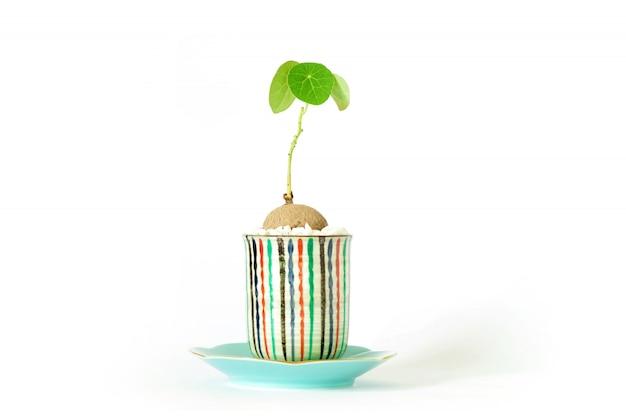 Stephania erecta in een minimalistische keramische pot op een witte achtergrond.