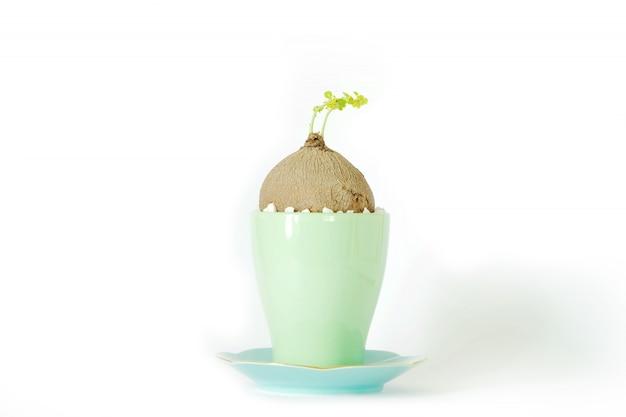 Stephania erecta in een minimalistische keramische pot op witte achtergrond.