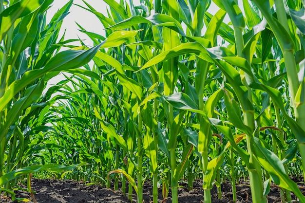 Sterke, zelfs maïsplanten op het veld, in de fase van de vorming van de rots
