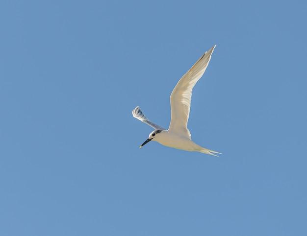Sternvogel tijdens de vlucht op blauwe hemel