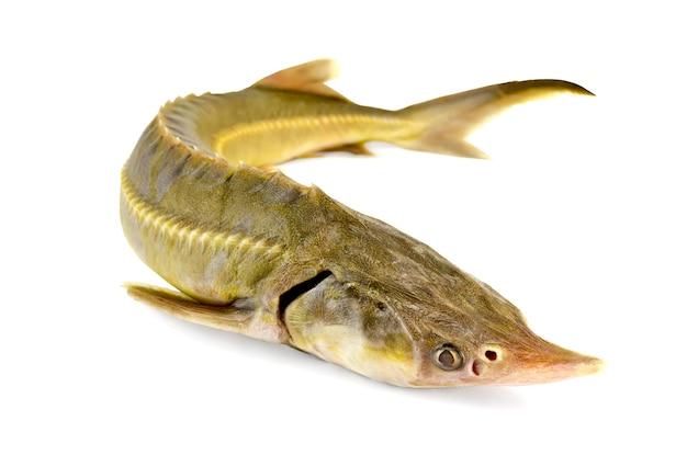 Steur vis geïsoleerd op een witte achtergrond