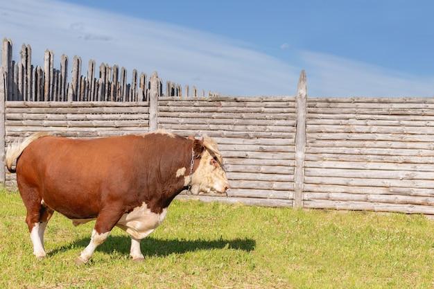 Stier, grote stier met een ring in zijn neus, stond majestueus in een weelderige zomerweide