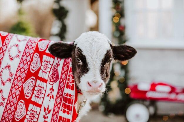 Stier in winterkleed staat bij een wit hek