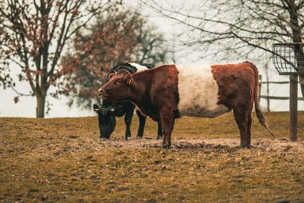 Stieren in een veld omgeven door groen onder het zonlicht