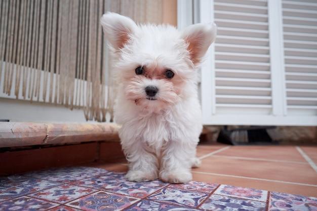 Stockfoto van een kleine hond die in zijn blind buiten het terras wacht met attente uitdrukking. huisdier en thuis