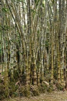 Stokken van gigantische bamboe in de royal botanical gardens, lunuganga, sri lanka