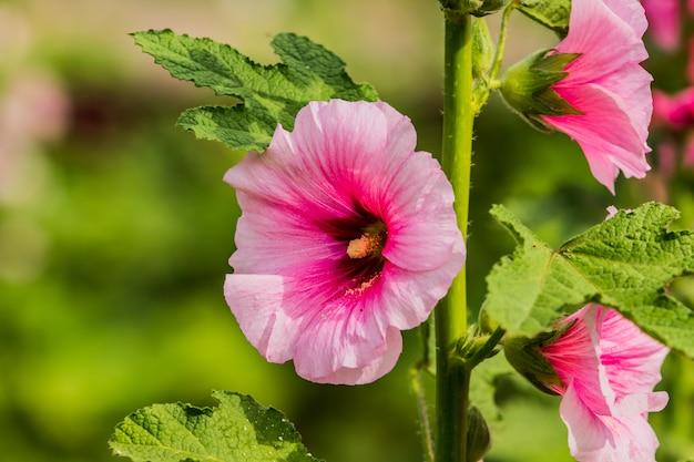 Stokrozenbloem van roze kleur in de tuin