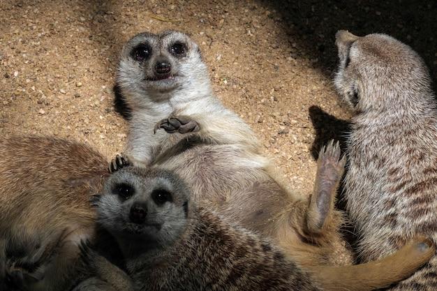 Stokstaartje of suricate (suricata suricatta)