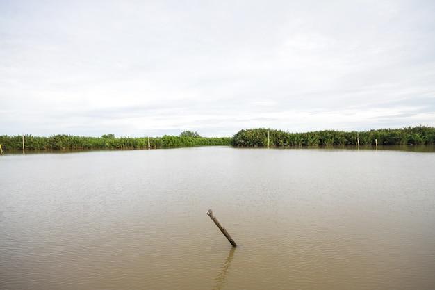 Stomp en mangrovebos in de rivier bij platteland in thailand
