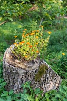 Stomp met bloemen tagetes in het dorp, tuindecoraties