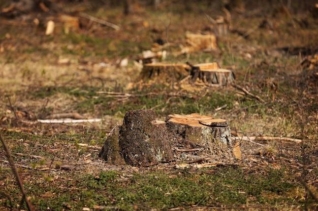 Stomp van een gekapte boom. de exploitatie van de pijnboombosbouw in een zonnige dag. overexploitatie leidt tot ontbossing die het milieu en de duurzaamheid in gevaar brengt. ontbossing, selectieve aandacht