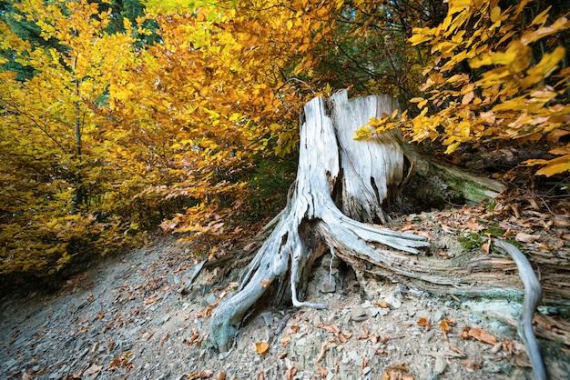 Stomp van gekapte boom met rommelige wortels in kleurrijke herfst bos
